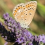 A butterfly feeding on the lavender in the garden